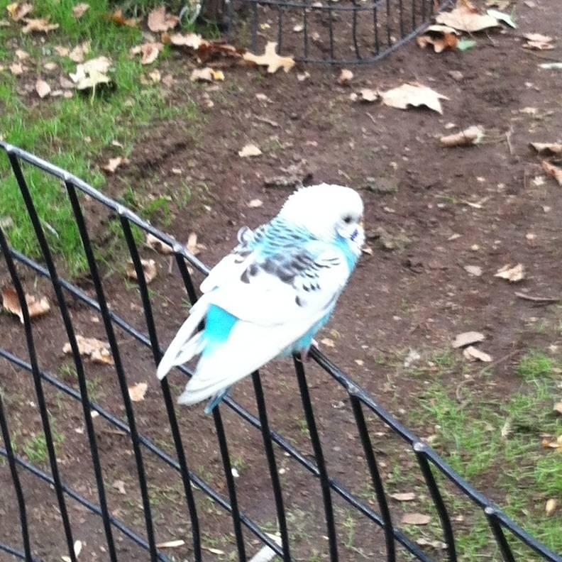 parakeet-madison-square-park