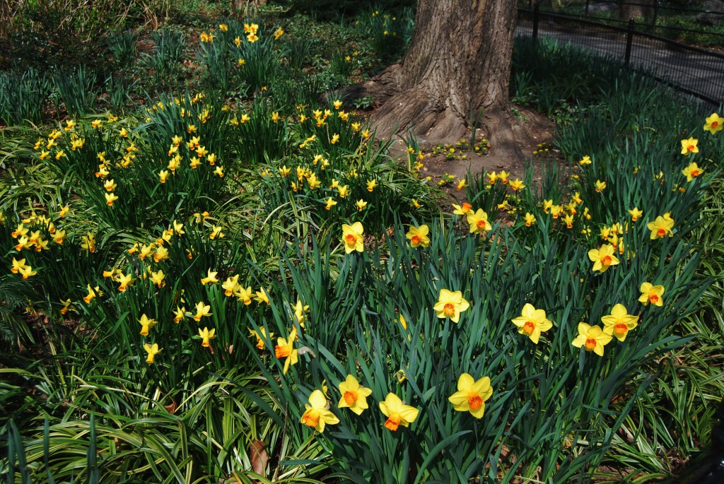 Daffodils are blooming in NoMad and Madison Square